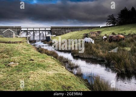 Bodmin Ponies pastando cerca del embalse de Crowdy en Bodmin Moor en Cornwall.