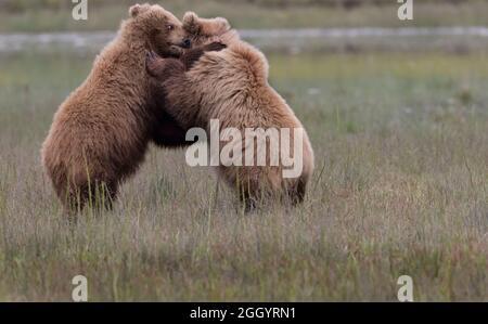 Coastal Brown Bears excavando almejas y navegando en la orilla; Lake Clark, Alaska, Estados Unidos