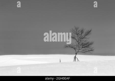 Un árbol solitario de abedul plateado se alza en un paisaje nevado