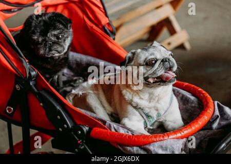 Dos pugs adultos en un carro rojo para bebés. Negro y gris pug en un día de verano