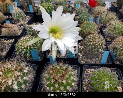 Cultivo de cactusses en un invernadero del Jardín Botánico, Alemania, Hamburgo-Flottbek