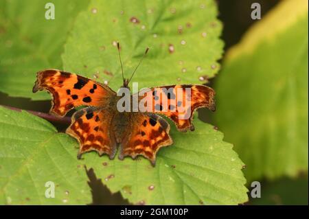 Una bonita coma Butterfly, Polygonia c-álbum, encaramado en una hoja de bambles.