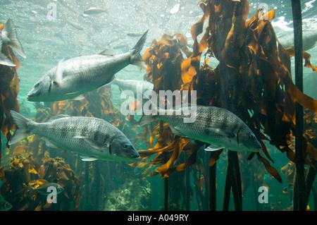 Sudáfrica Ciudad del Cabo Océano Atlántico pez nadando en bosque Kelp exhibición en acuario Two Oceans