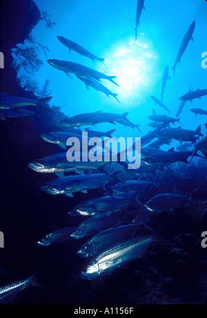 Sábalo plateado Megalops atlanticus ESCUELA EN TARPON ALLEY EN GRAN CAIMÁN