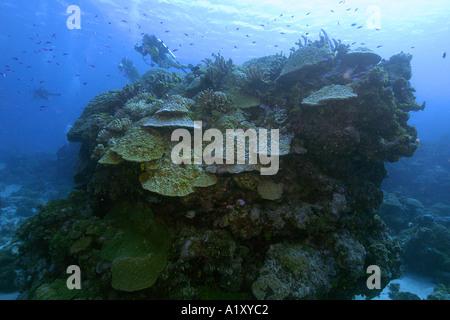 Los buceadores exploran una cabeza de coral CORAL PORITES spp principalmente lóbulo Namu atolón del Pacífico Islas Marshall N