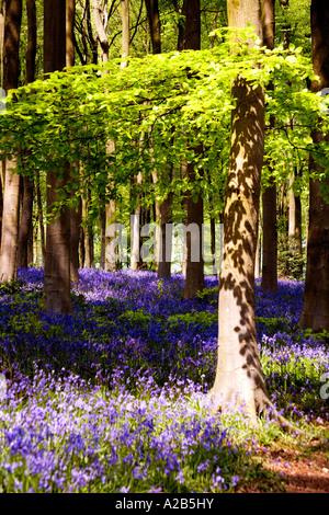 Las campánulas azules, Hyacinthoides non-scripta, en el muelle de West Woods cerca de Marlborough, Wiltshire, Inglaterra, Reino Unido.