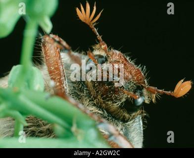 Las antenas y la cabeza de un adulto cockchafer Melolontha melolontha