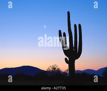 Estados Unidos - Arizona: cactus saguaro gigante