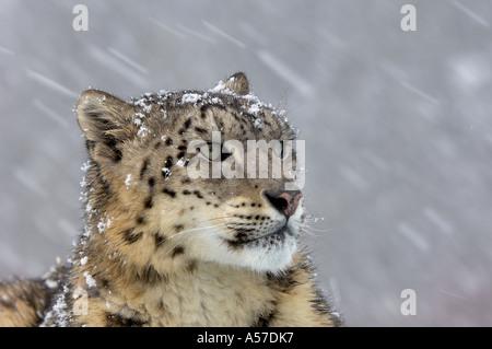 Retrato de un leopardo de nieve Panthera uncia nevando cautivos de EE.UU.