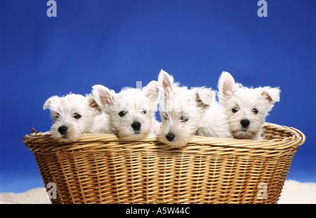 Westhighland White Terrier - cuatro cachorros en la cesta Foto de stock