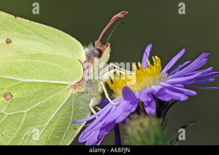 Brimstone (Gonepteryx rhamni) chupar néctar de flor aster Aster (sp).