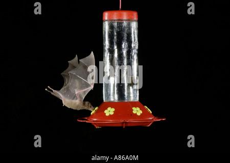 Menor de hocico largo Murciélago Leptonycteris curasoae adulto en vuelo por la noche alimentándose de alimentador de colibrí Tucson Arizona