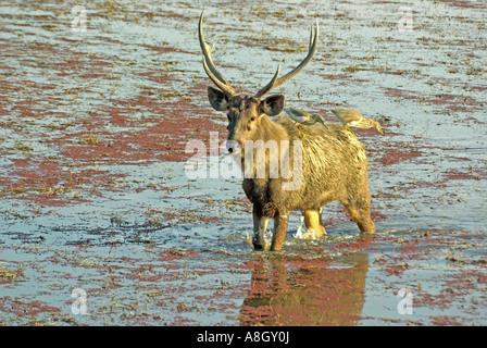 Ciervos Sambar, ciervo Cervus unicolor