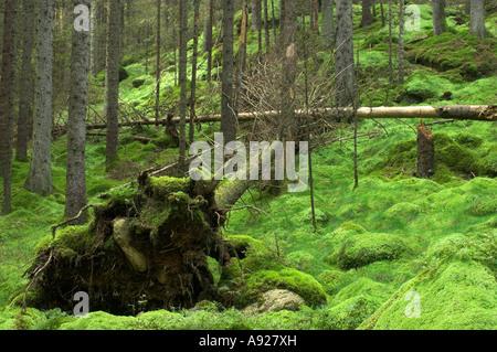 Árboles caídos en el bosque, Risbohult, Västergötland, Suecia