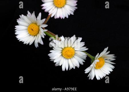 Daisy flores en una sola cadena, para convertirlos en una pulsera, collar o corona floral