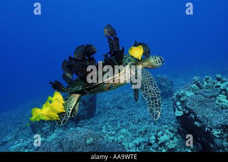 Tortuga verde Chelonia mydas limpiados por lengüetas de amarillo y rayado bristletooth Kailua Kona Hawai Pacific