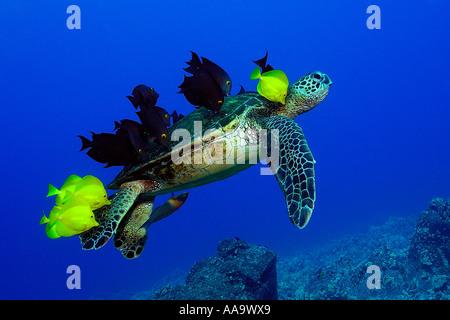 Tortuga verde Chelonia mydas limpiados por lengüetas de amarillo y rayado bristletooth Kailua Kona Hawai EE.UU.