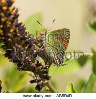 Siva Juniper Hairstreak Callophrys gryneus Mitoura gryneus siva butterfly