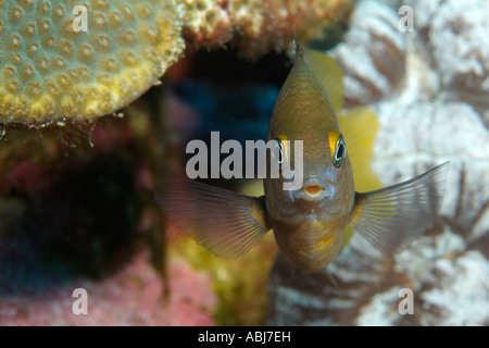 Threespot damisela en jardín de flores en el Golfo de México