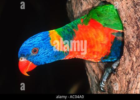 Rainbow Lorikeet Trichoglossus haematodus en el agujero en el árbol de anidación Australia