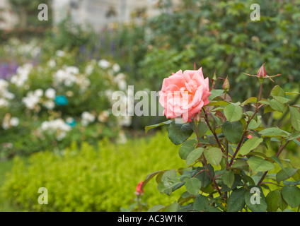 Rosa rosa con fondo borroso en L'Abbaye et les Jardins De Valloirin francia ue
