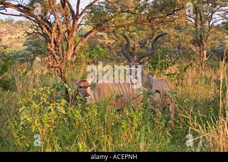Macho Kudu mayor protección de su hembra de exploración, el Parque Nacional Kruger, Sudáfrica