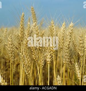 Espigas maduras de trigo barbudo