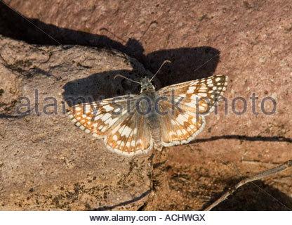 Común patrón ajedrezado Pyrgus communis Butterfly Hesperiidae Arizona