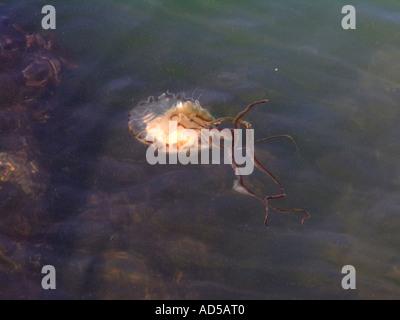 Brújula Medusa Chrysaora hyoscella westcoast de Jutlandia, Dinamarca