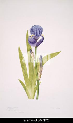 Iris Iris pallida barbudo