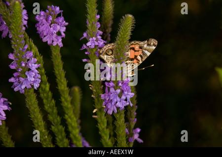 Lady Butterfly nectaring americana sobre Vervain canosos Foto de stock