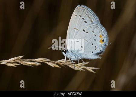 Cola oriental Mariposa Azul sobre Semillas de Pasto Foto de stock