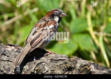 Passer domesticus Gorrión macho posado sobre registro con mala daño ocular y facial potton bedfordshire