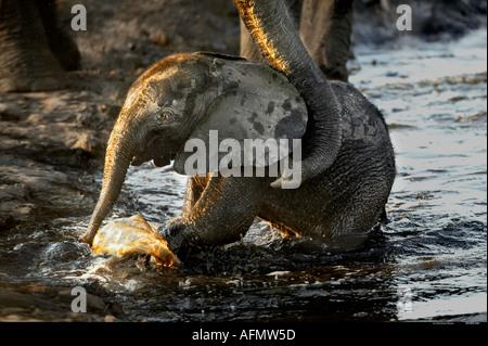 La cría de elefante que se ayudó a salir del agua por su madre Chobe Botswana Foto de stock