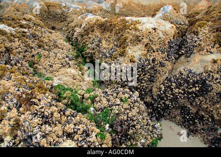 Percebes, ostras y algas en las rocas con marea baja.