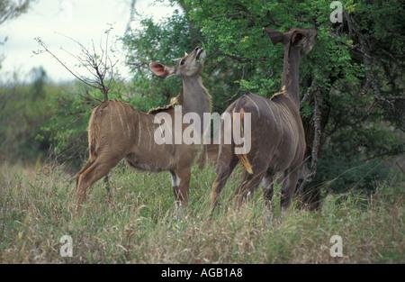 Hembra navegación Kudu Kruger Sudáfrica Game Reserve