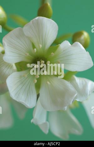 Flor de Atrapamoscas Dionea Muscipula