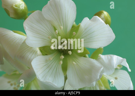 Flor de Atrapamoscas