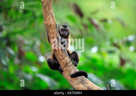 Mono capuchino llorón