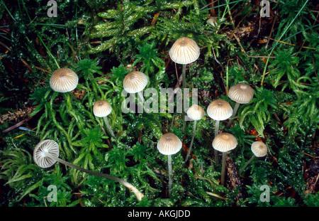 Mealy capot (Mycena cinerella), grupo entre la turba, Alemania
