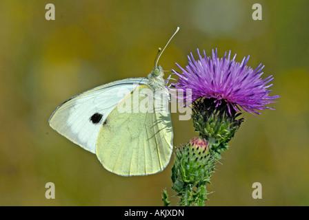 (Pieris rapae blanco grande) succionar el néctar de la floración (Cardo Cirsium sp).