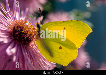 Brimstone (Gonepteryx rhamni macho) consume el néctar de una flor