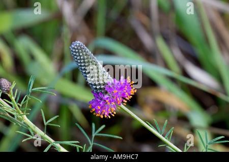 Las praderas de trébol violeta Dalea purpurea