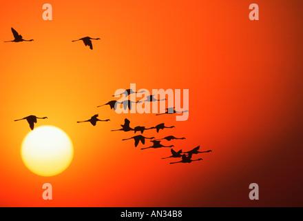 Mayor Flamingo Phoenicopterus ruber en silueta contra el sol son los animales filtradores de crustáceos algas África