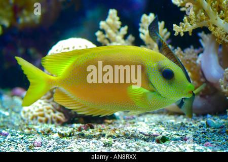 Los peces exóticos en un acuario