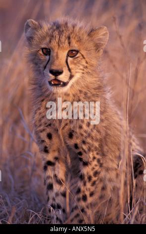 África, África del Sur, Phinda Reserva. Guepardo (Acinonyx jubatus) Foto de stock