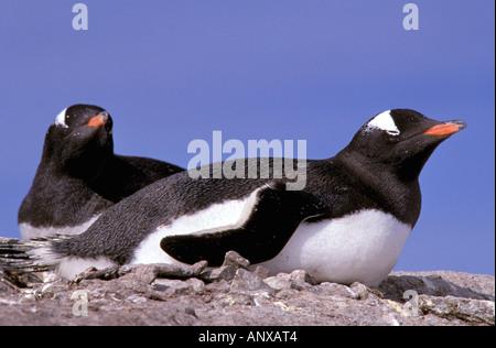 La Antártida, en la Península Antártica, Isla Peterman. Pingüinos papúa (Pygoscelis papua). Foto de stock