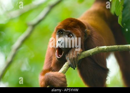 Mono aullador Alouatta seniculus aullando Amazon Rainforest