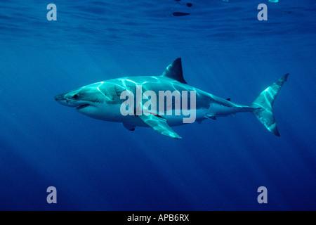 Tiburón Blanco Carcharhodon carcharias