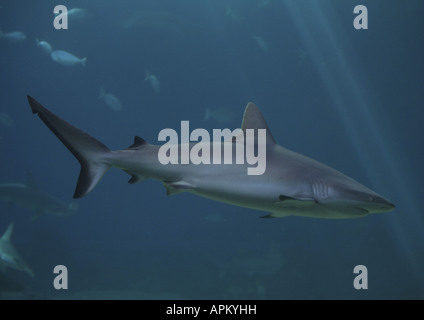 Tiburón gris de arrecife (Carcharhinus amblyrhynchos, Carcharhinus wheeleri), única persona